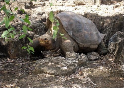Tortuga Galapagos Solitario George